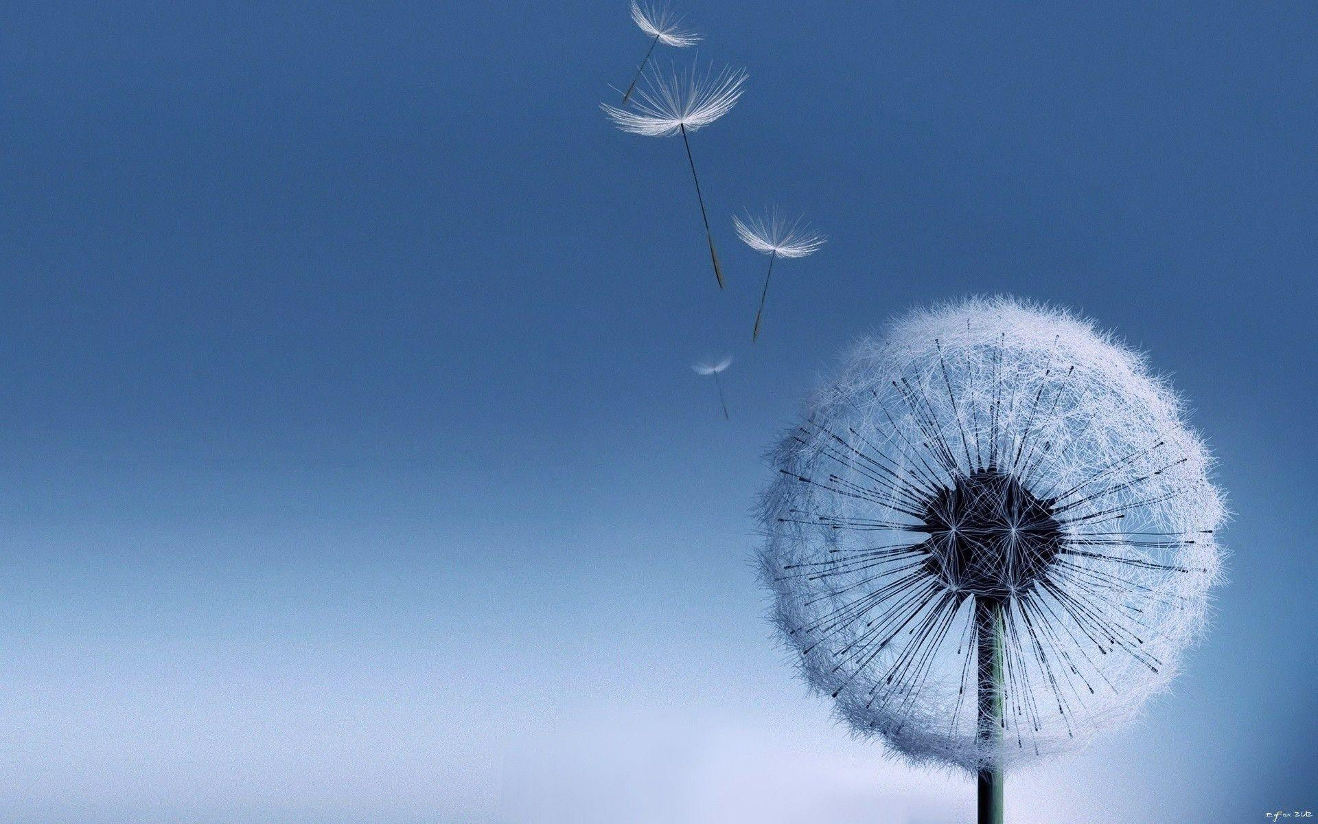 Most Downloaded Dandelion Wallpapers