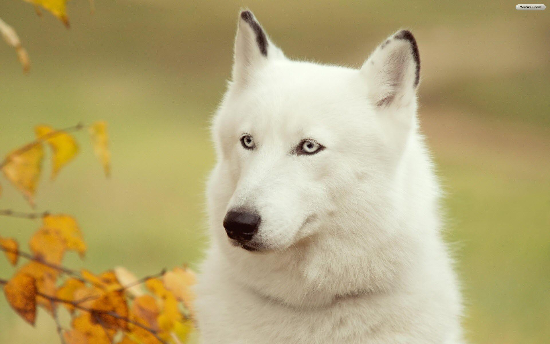 White Wolf Wallpapers : White wolf wallpapers more wallpapers