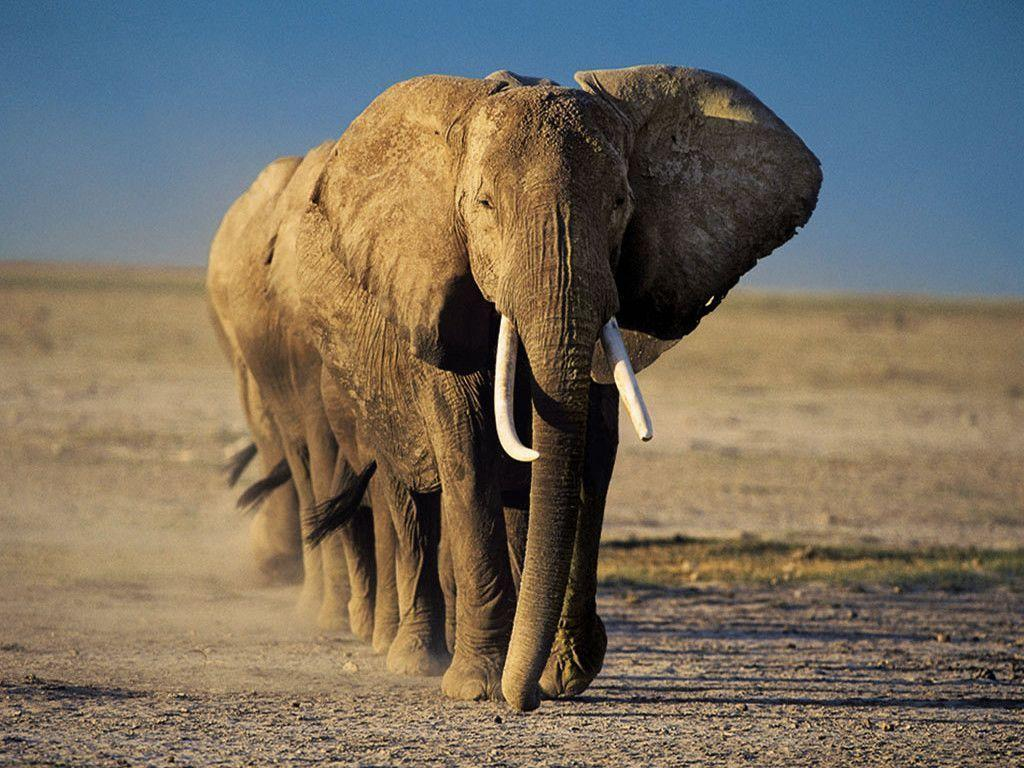 Elephant Wallpaper - Animal Wallpapers (7109) ilikewalls.