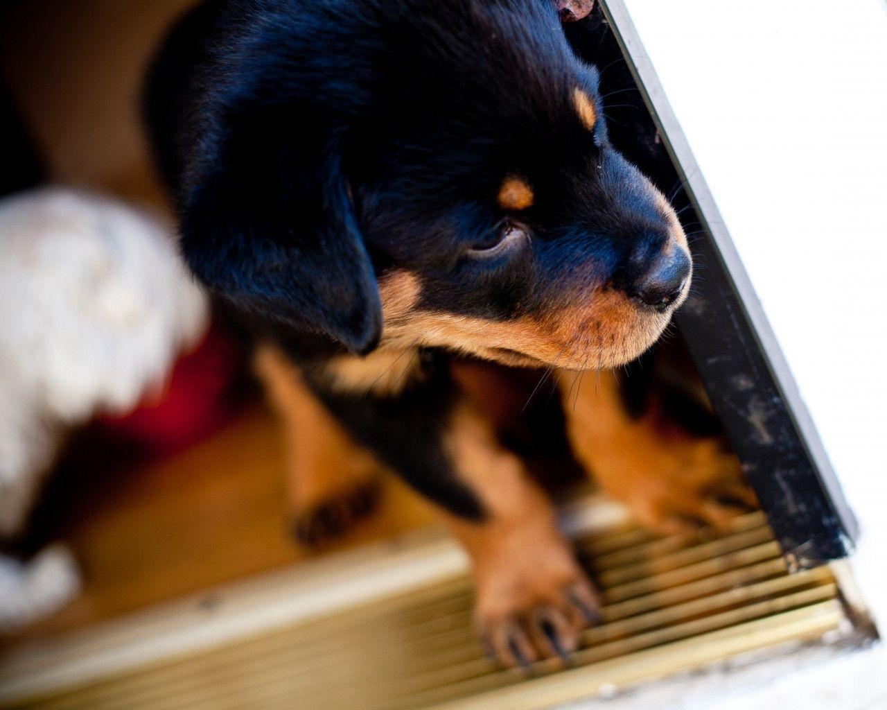 Rotweiler Wallpapers - Wallpaper Cave