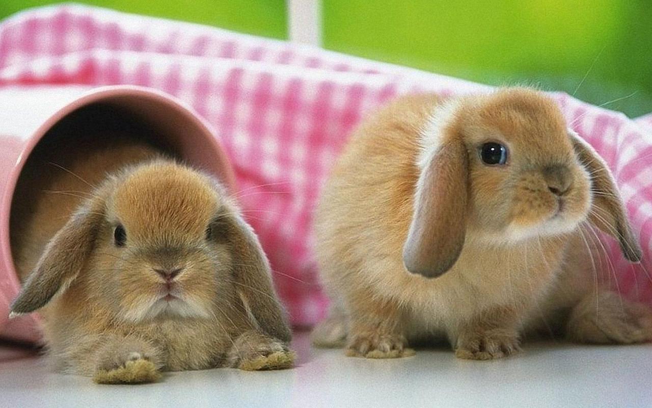 cute bunnies bunny rabbit wallpapers rabbits conejos puzzle conejo kb onewallpapersfortollyto3d mascotadomestica fotos ears cave sobre wallpapercave articulo bollywood actress