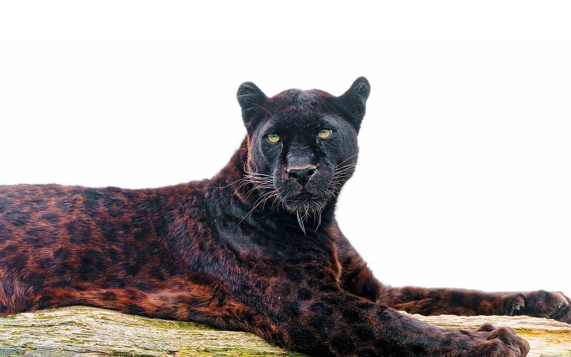 Delightful Most Downloaded Black Jaguar Wallpapers   Full HD Wallpaper Search