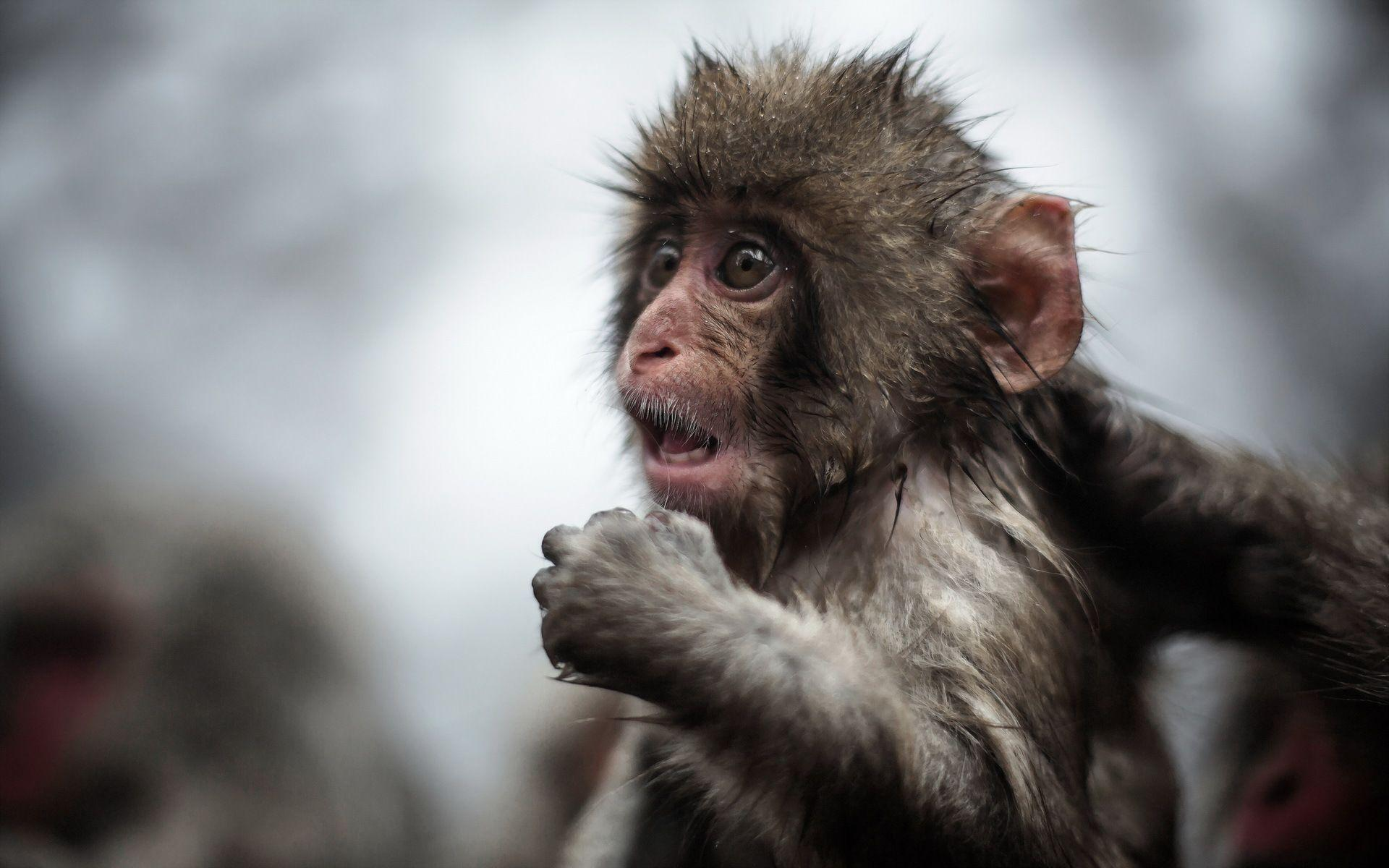 Baby Monkey Wallpapers Wallpaper