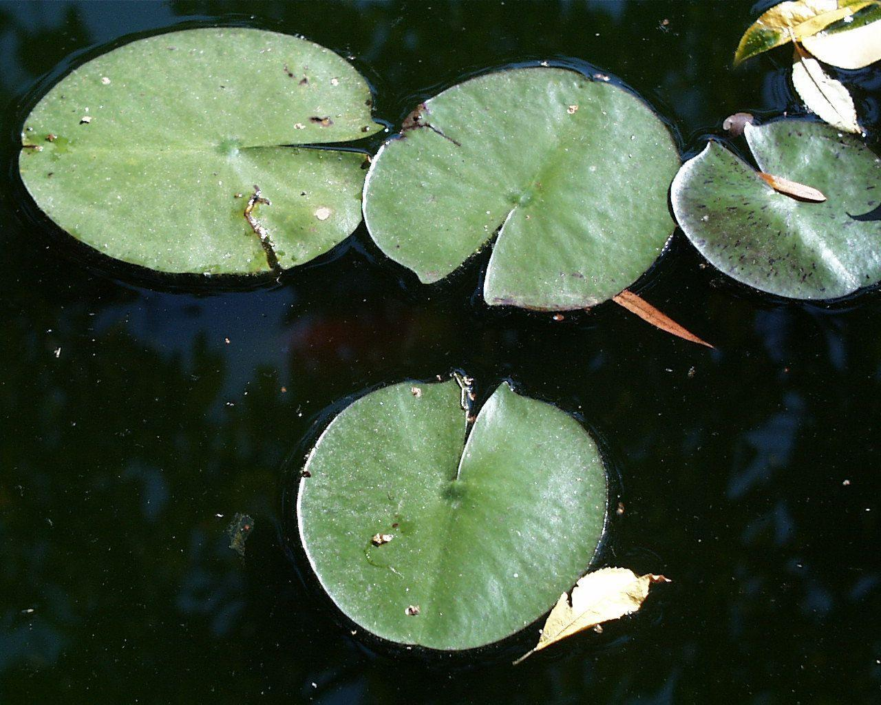 Lily Pad Wallpapers - ...