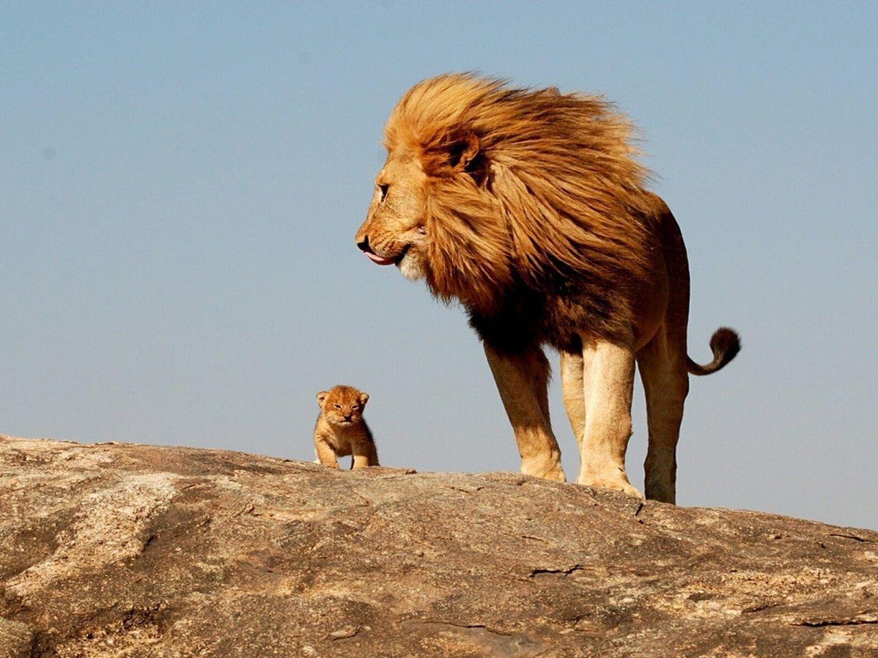 Lion Cub Wallpapers - Wallpaper Cave