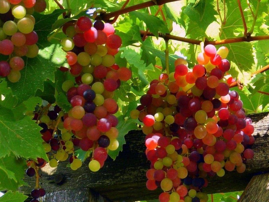 Grapes Wallpapers Free HD Images Top Fruits