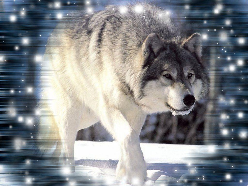 Cool Wolf Backgrounds 10832 Hd Wallpapers in Animals