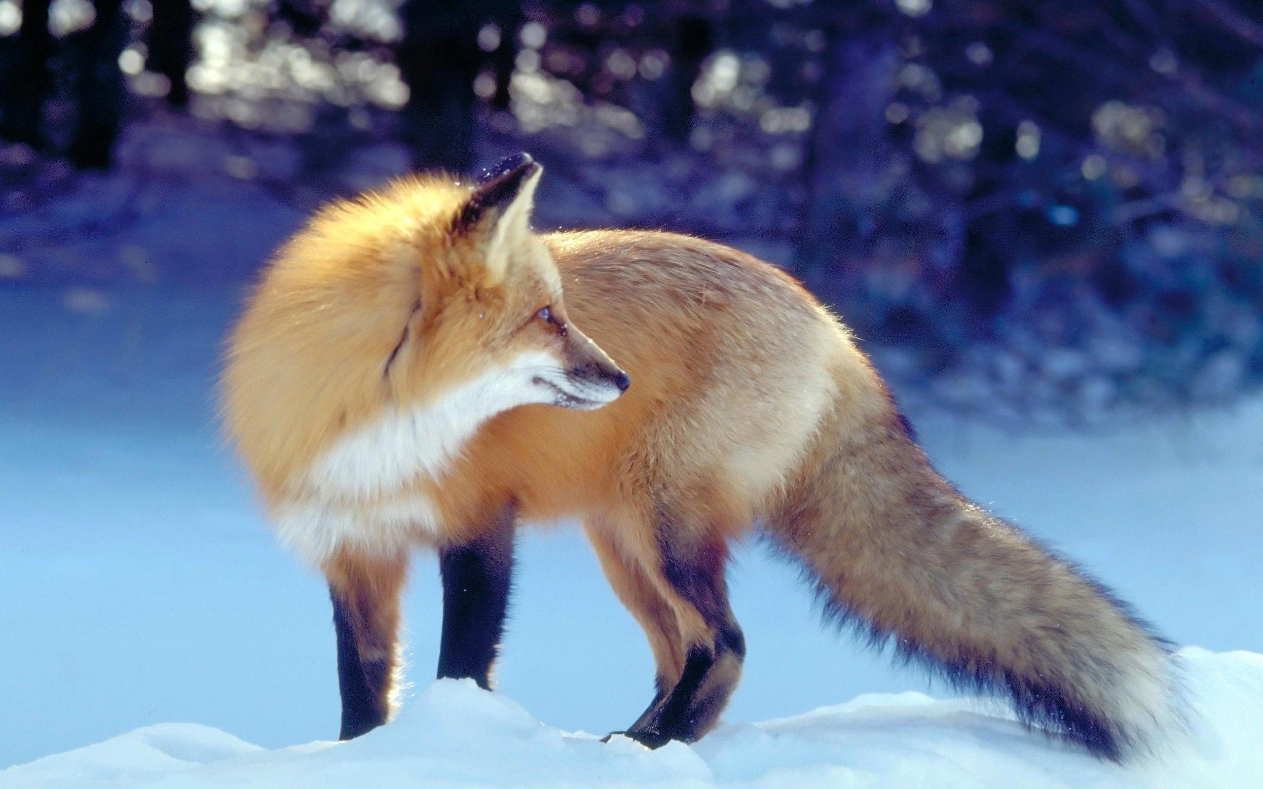 Red Fox in Snow Wallpapers - HD Wallpapers Inn