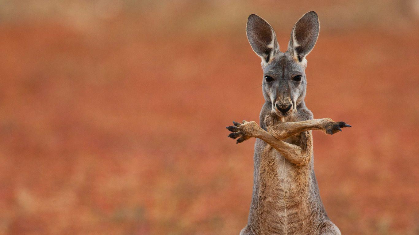 A red kangaroo in the Sturt Stony Desert, Australia - Bing ...