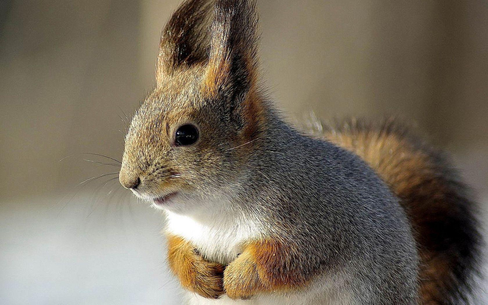 Squirrel wallpapers and images - wallpapers, pictures, photos