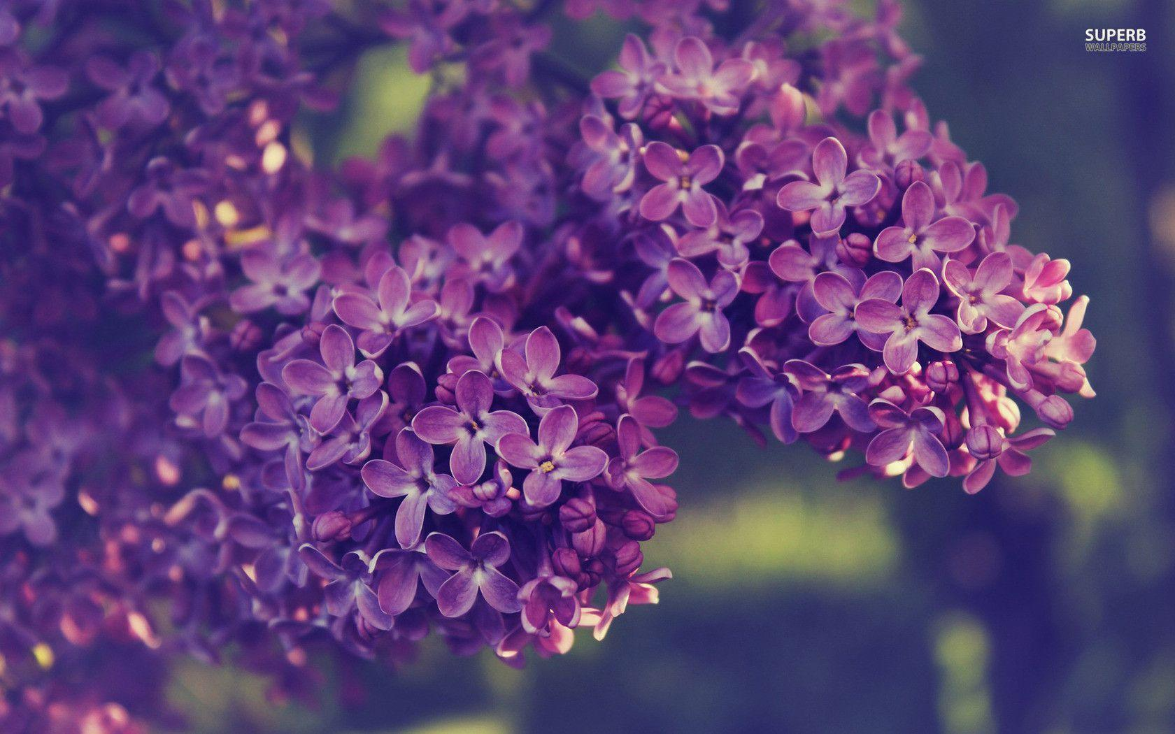 lilac flower wallpaper jpg - photo #26