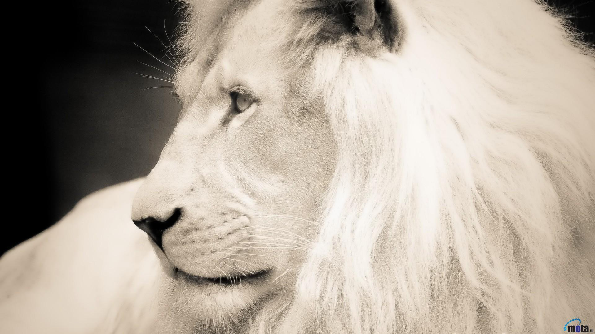 wallpapers white lion wallpaper cave. Black Bedroom Furniture Sets. Home Design Ideas