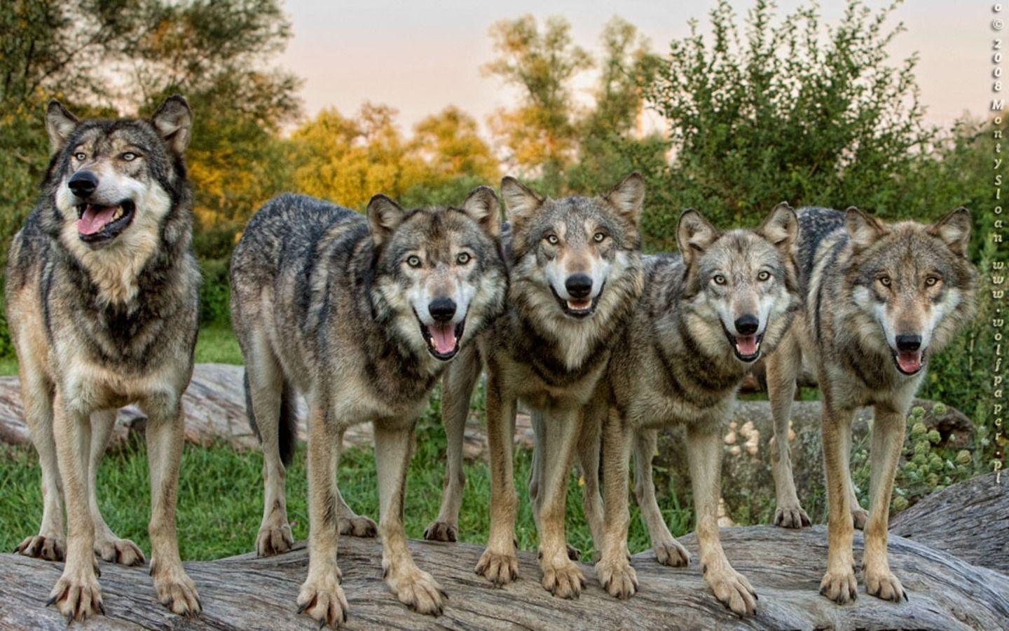 Wolf Pack Wallpapers - Wallpaper Cave - photo#15
