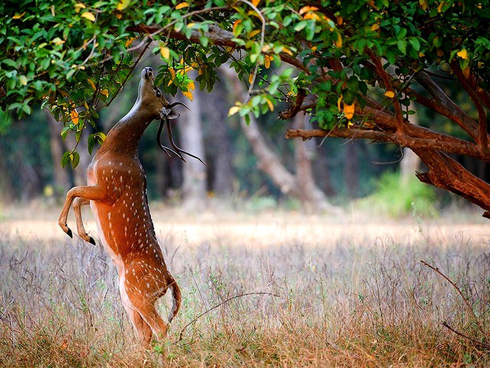 deer wallpaper for my desktop - photo #27