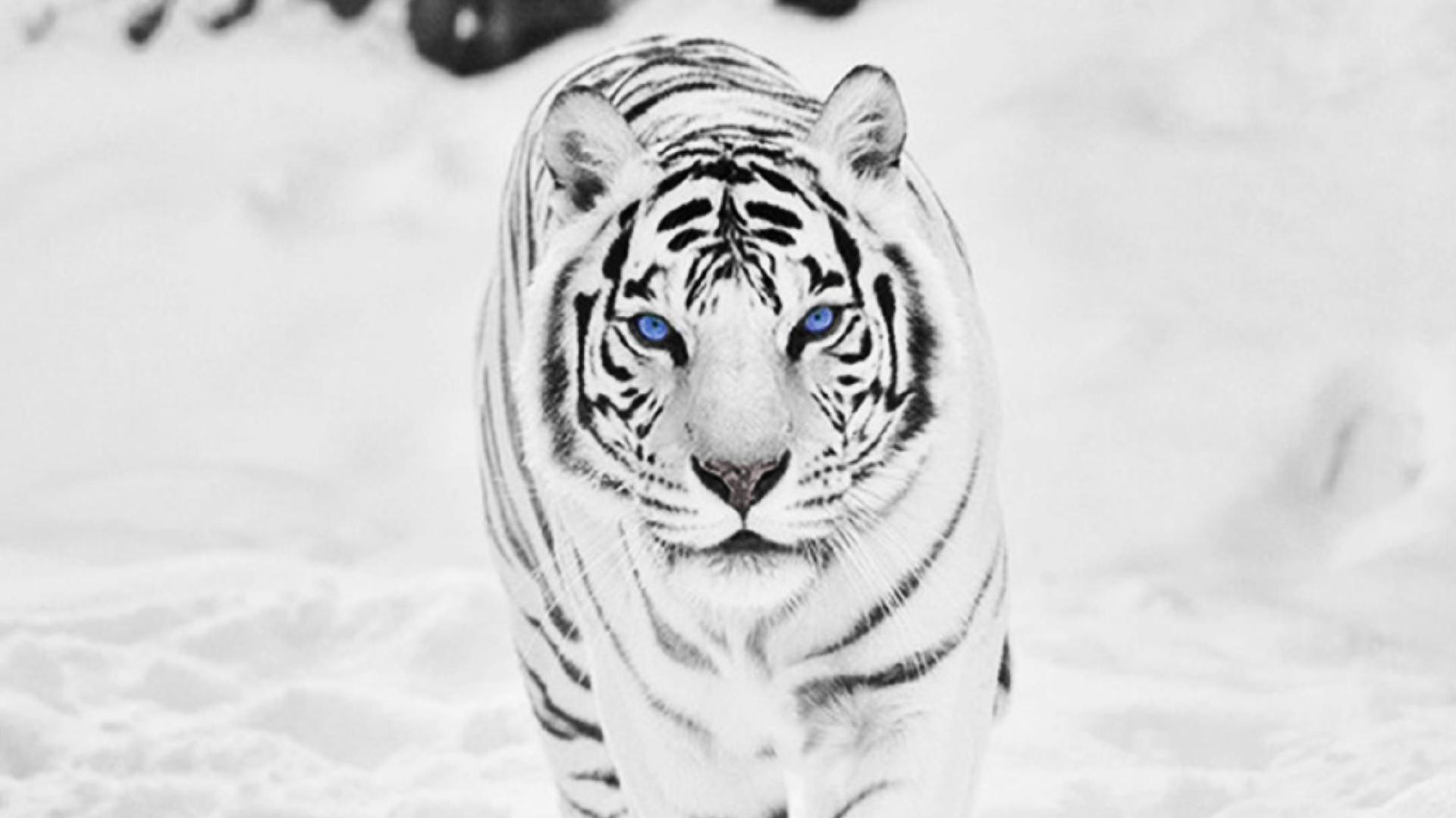 wallpaper hd white tiger - photo #37