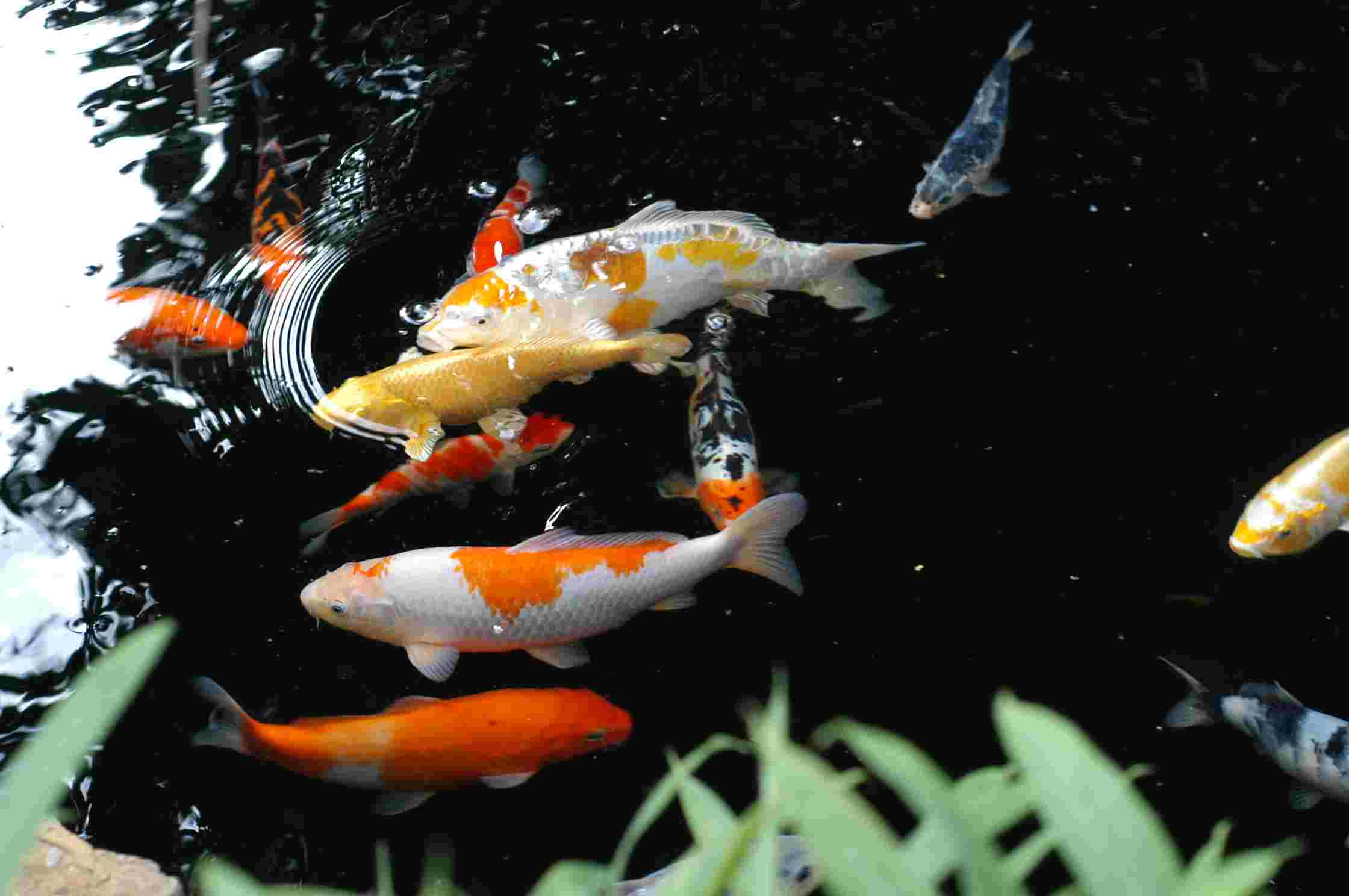 Koi fish wallpapers wallpaper cave for Colourful koi fish