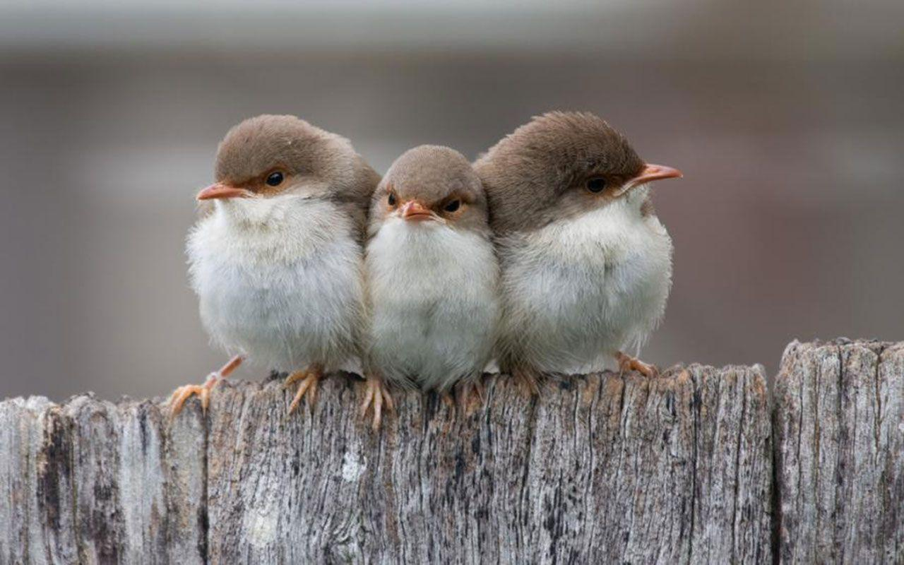 Free Wallpapers - Three Small Birds wallpaper
