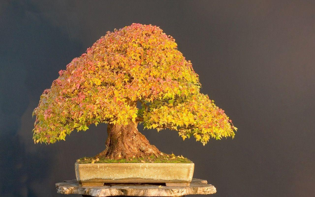 1280x800 Bonsai Tree desktop PC and Mac wallpaper