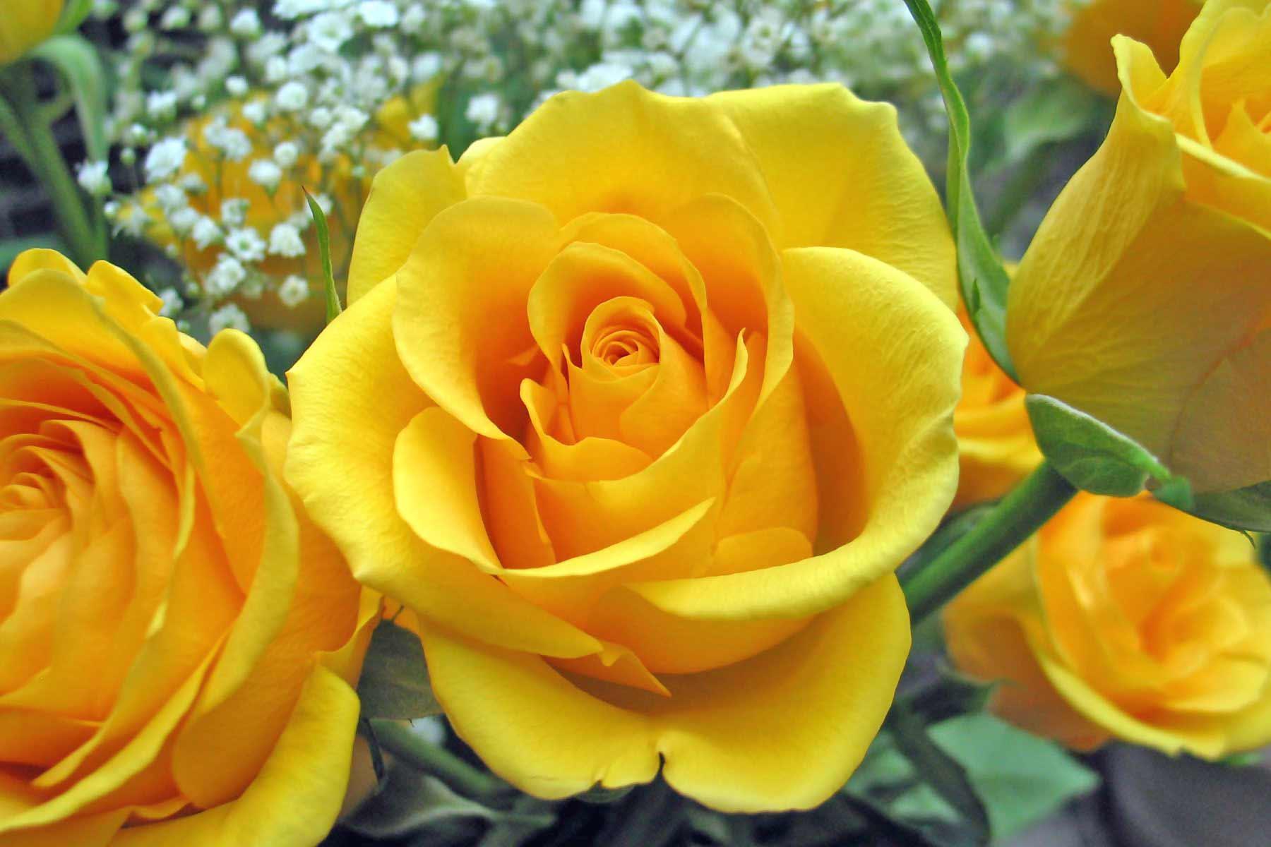 Hd wallpaper yellow rose - Flowers For Yellow Rose Flower Wallpaper