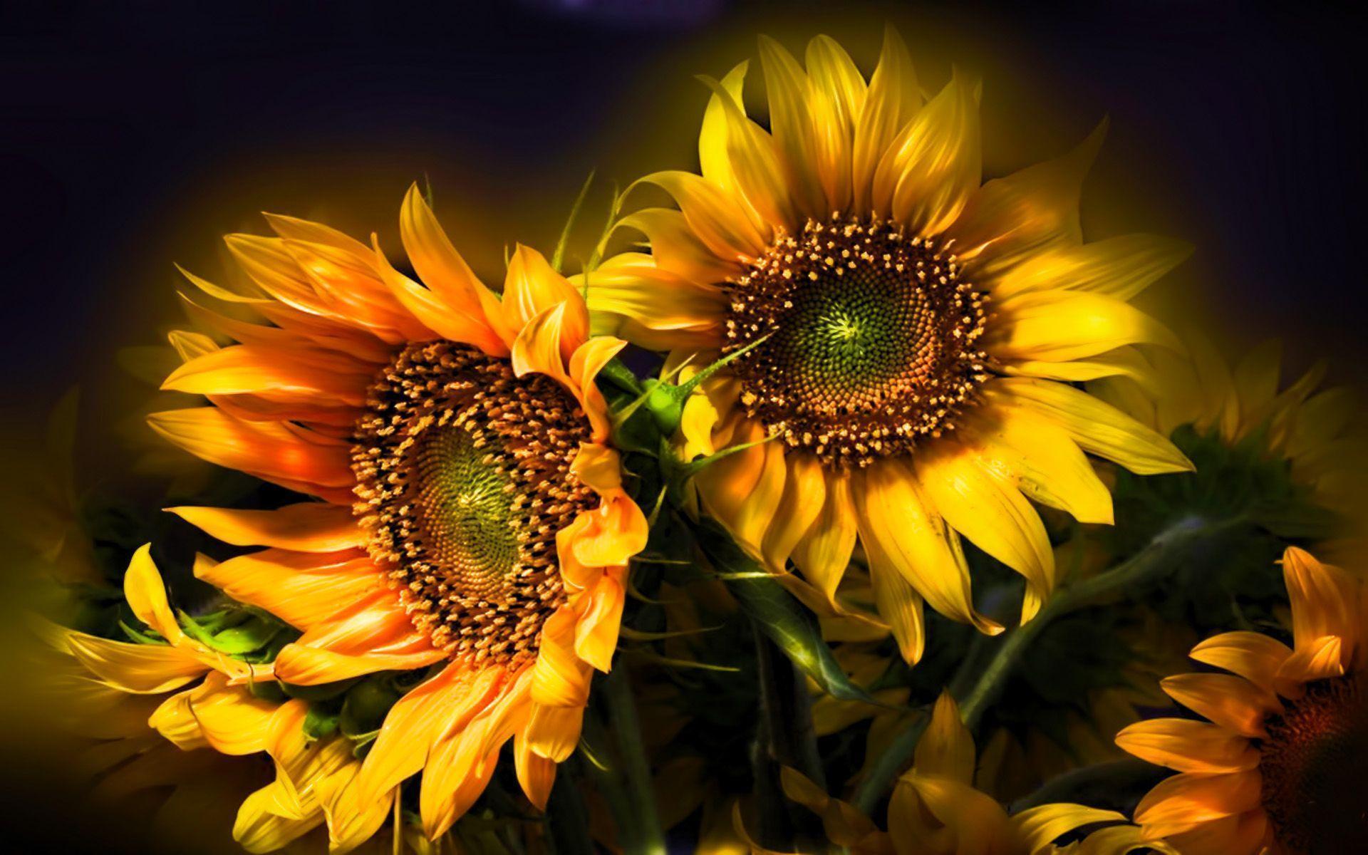 Sunflower Wallpapers Wallpaper Cave