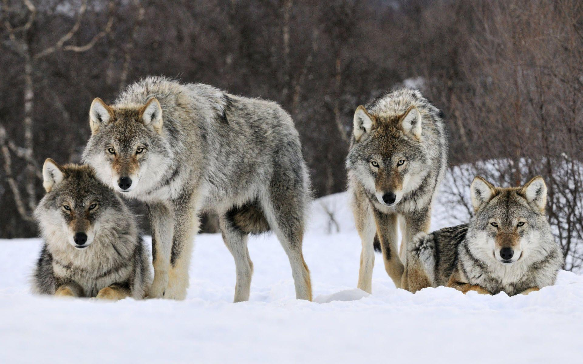 Gray Wolf HD Wallpapers - HD Wallpapers Inn