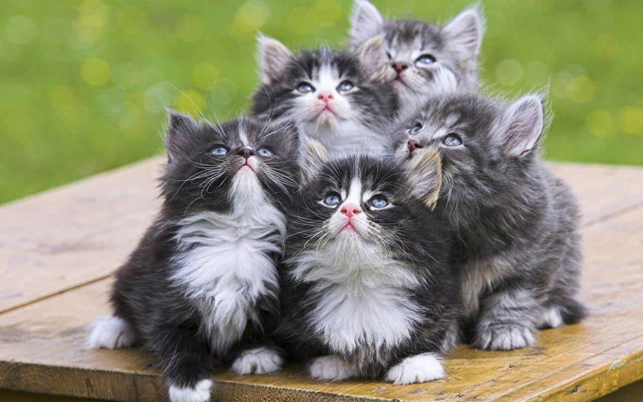 cute kitten wallpaper backgrounds | vergapipe.