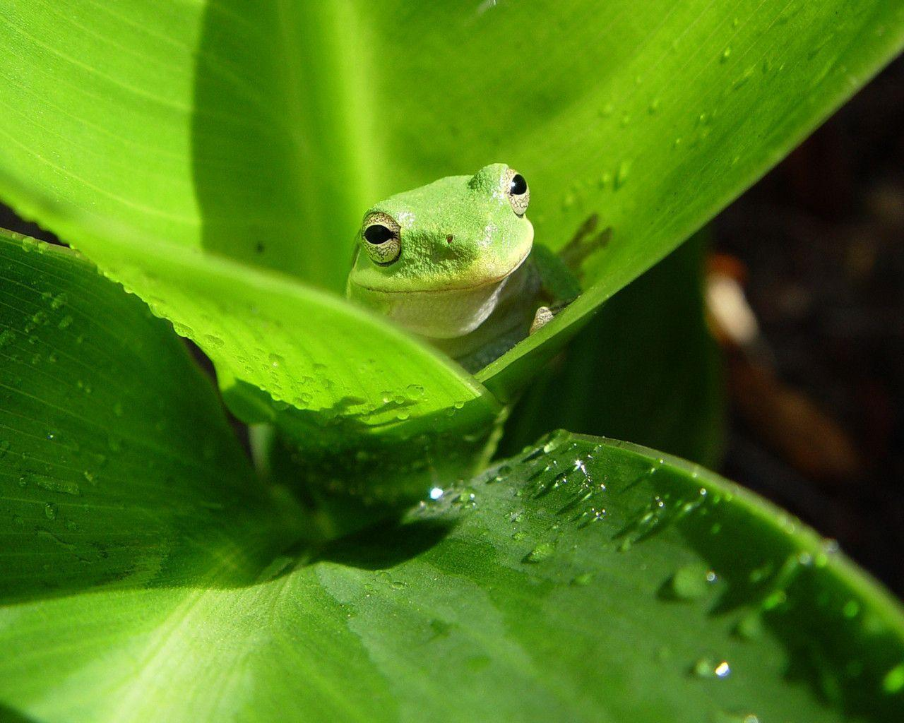 best Frog wallpapers images on Pinterest