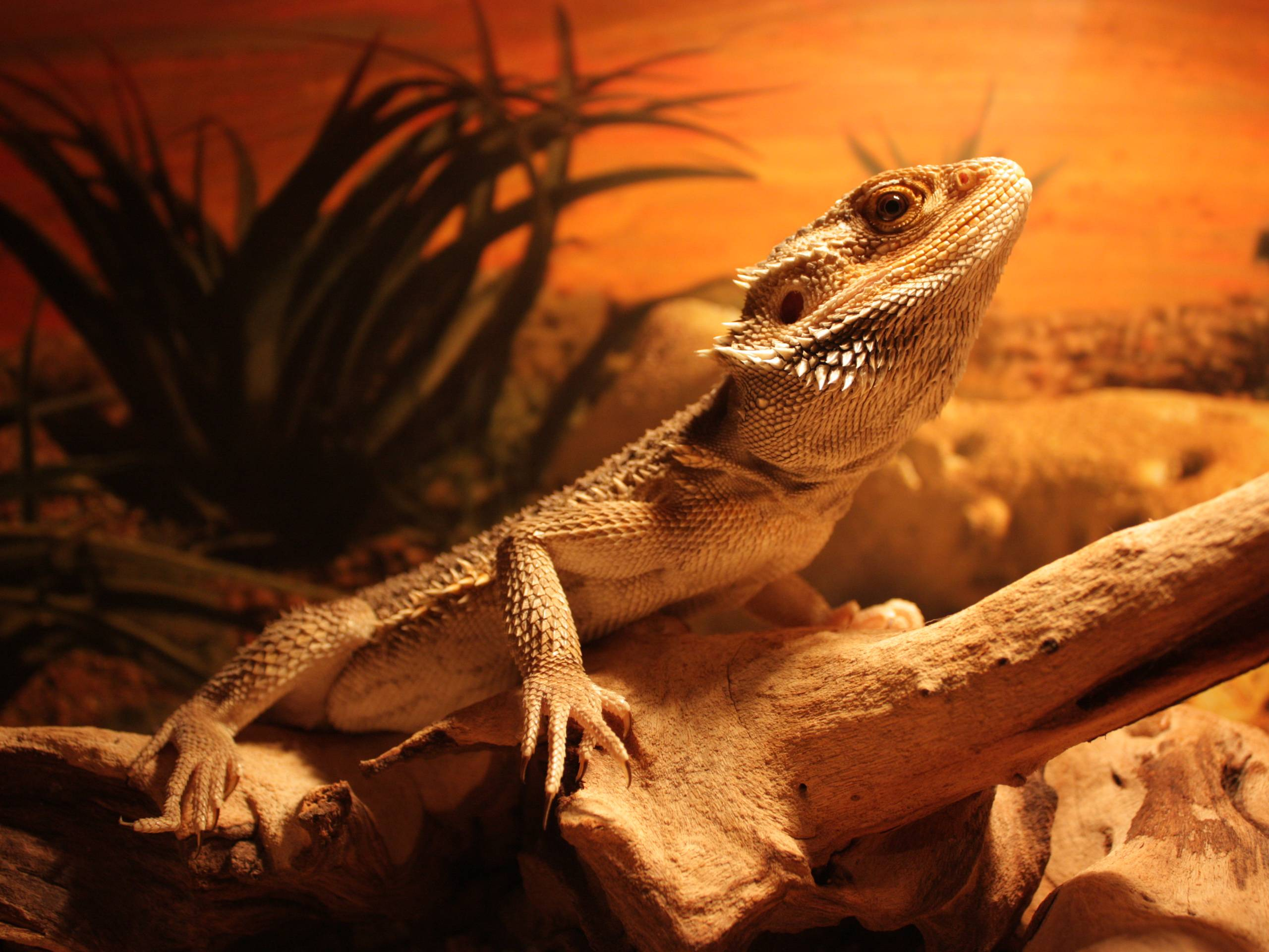 Lizard Wallpapers - Wallpaper Cave