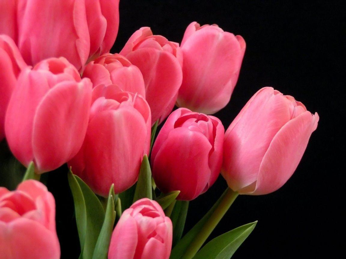 Pink Tulip HD Wallpapers