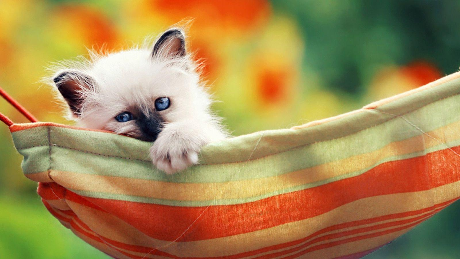 siamese cats wallpaper 3-#39