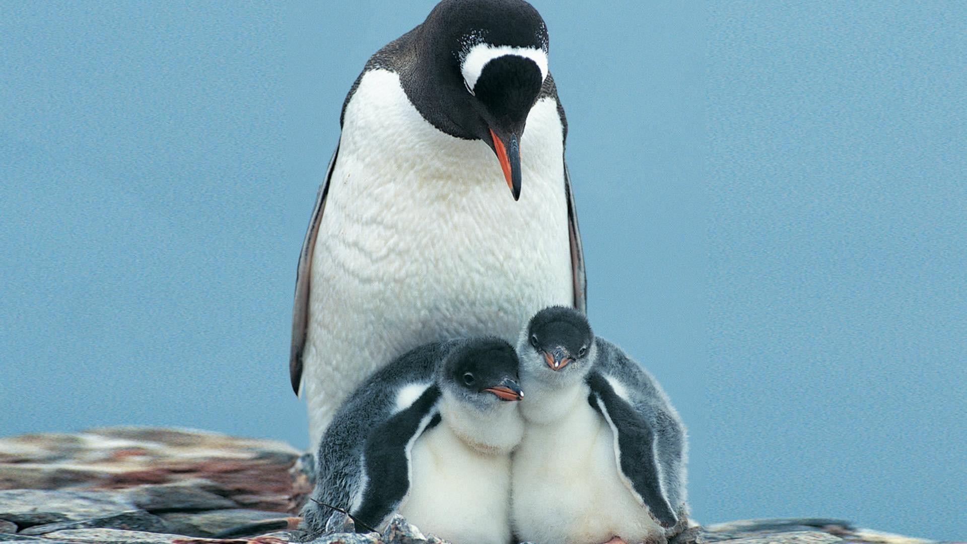 penguin wallpaper wallpapers - photo #17