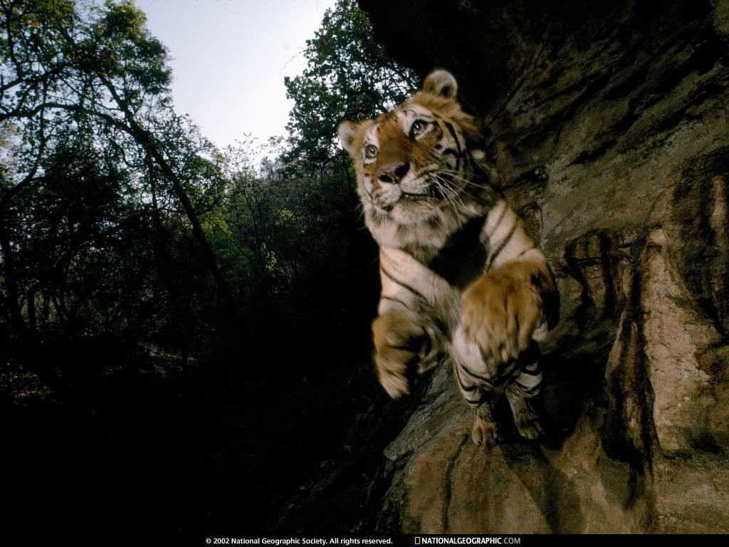 Tiger Wallpaper - Tigers Wallpaper (1598846) - Fanpop