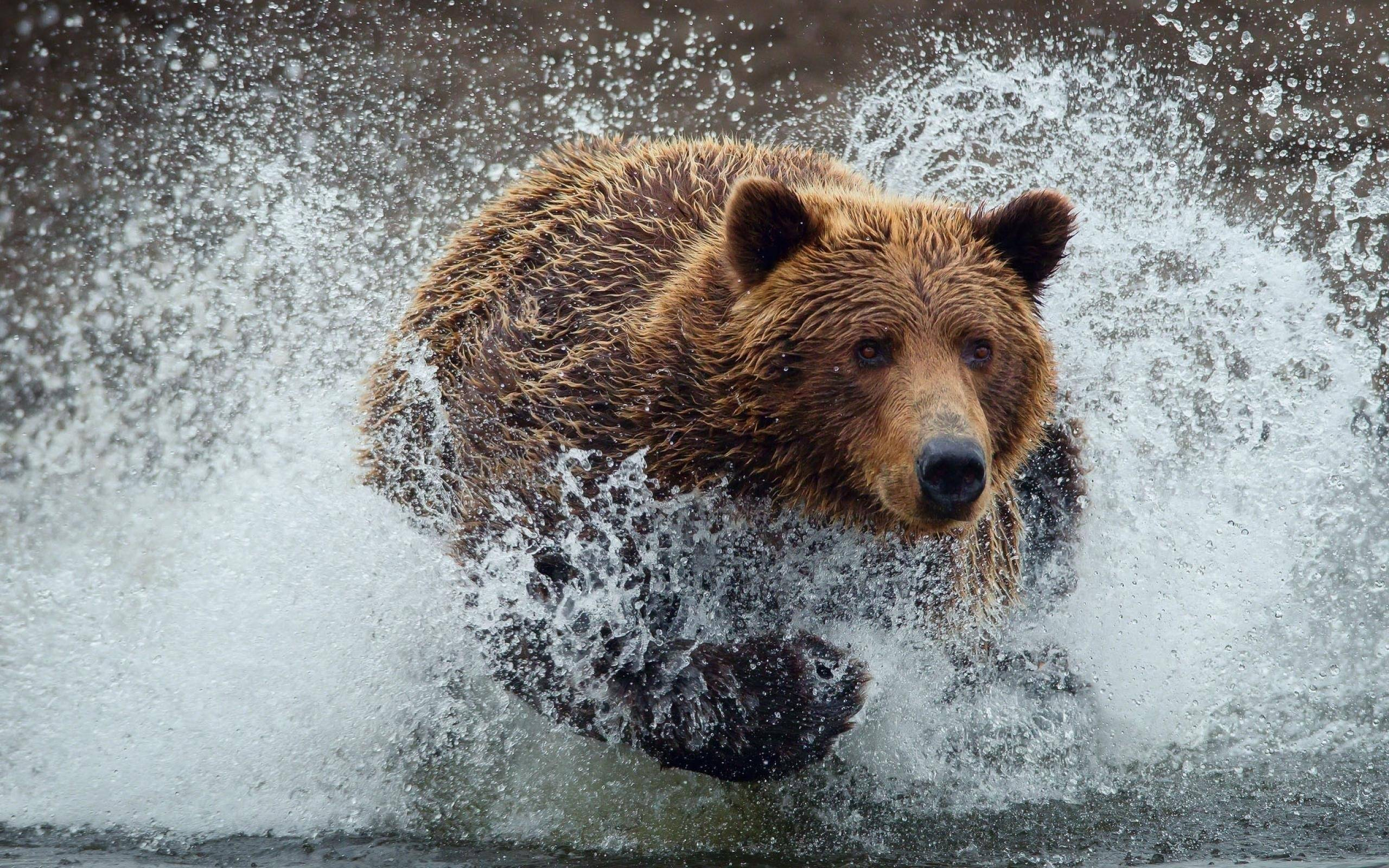 wallpaper title grizzly bear - photo #2