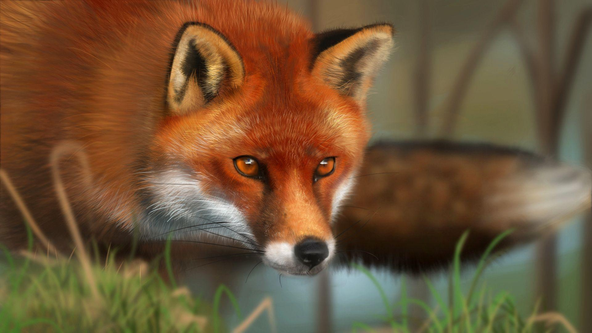 Red Fox - Animals Wallpapers