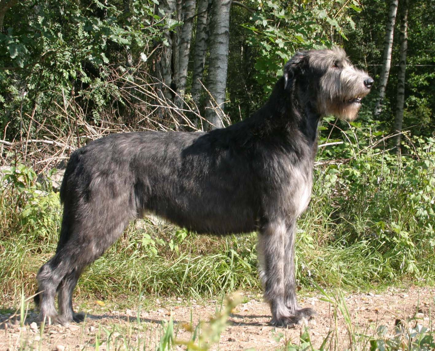 Irish Wolfhound Dog Breed Info
