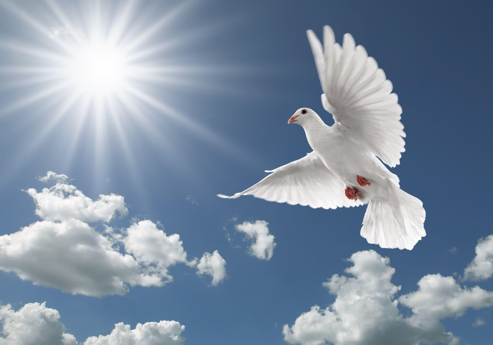 Dove HD Wallpapers Backgrounds Wallpaper