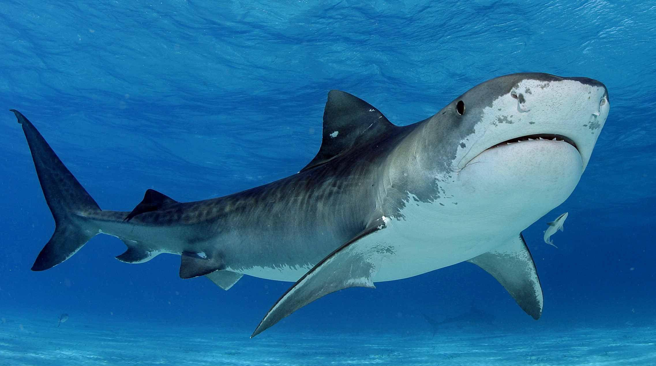 HD Wallpapers Source — Shark HD Wallpapers