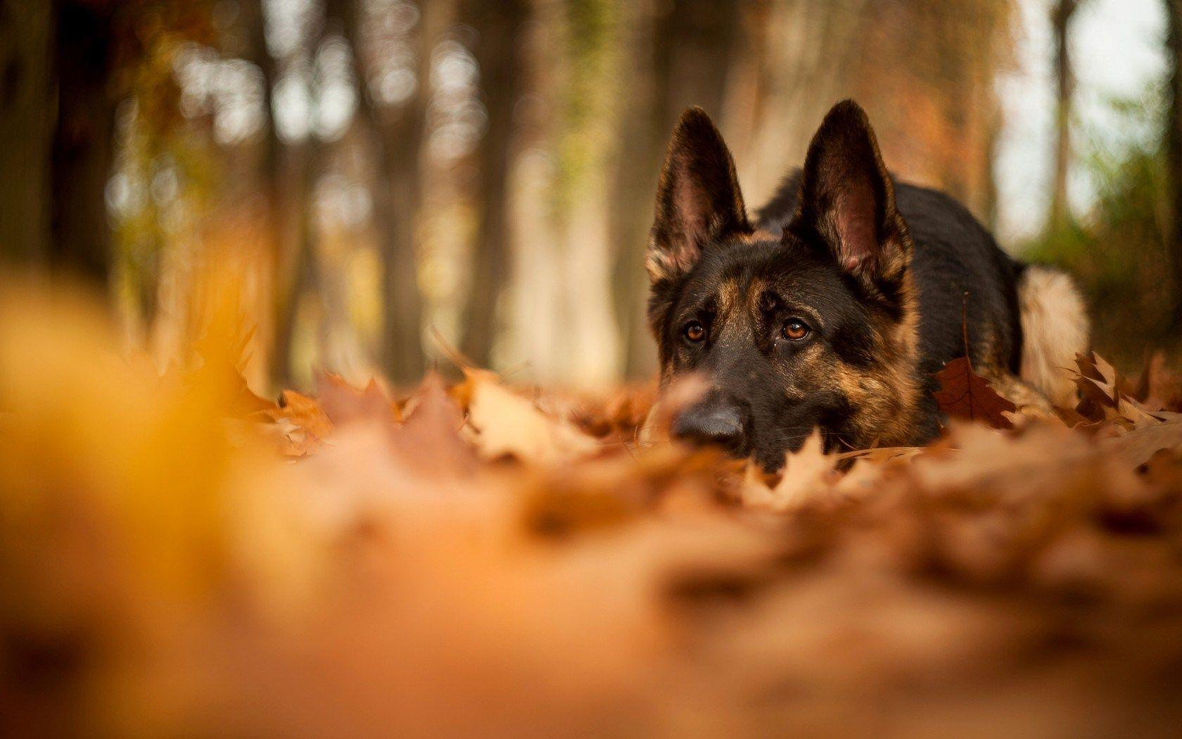 German Shepherd Forest Fall Dry Leaves Waiting HD Wallpaper ...