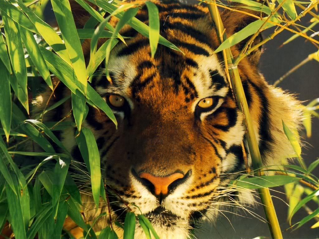 tiger wallpapers / Wallpapers Abstract 13151 high quality