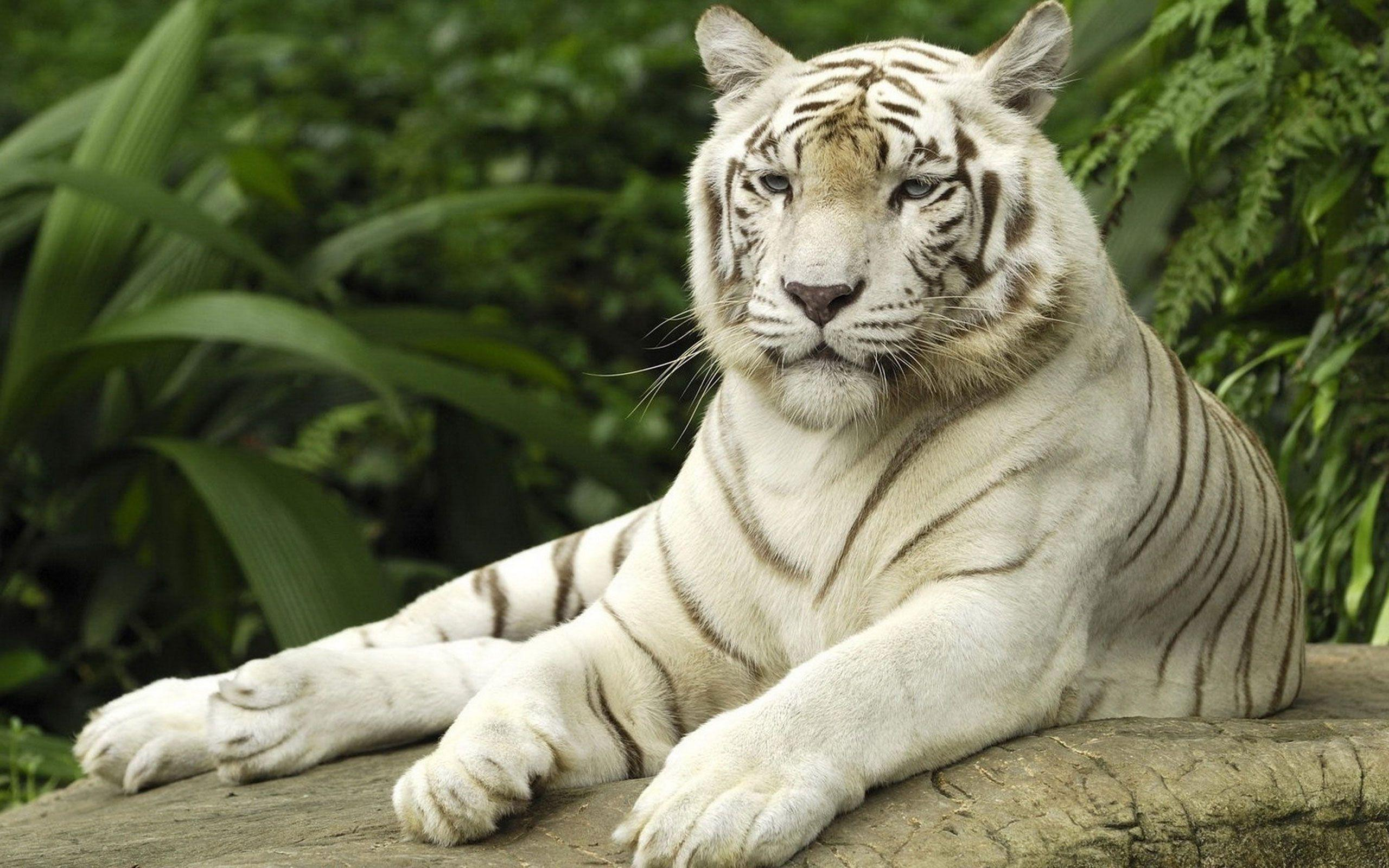 where can i find a essay about white tiger Easy science for kids white tiger facts for kids video - learn fun facts about animals a white tiger can weigh up to 300 kg and reach up to 3 metres in length.