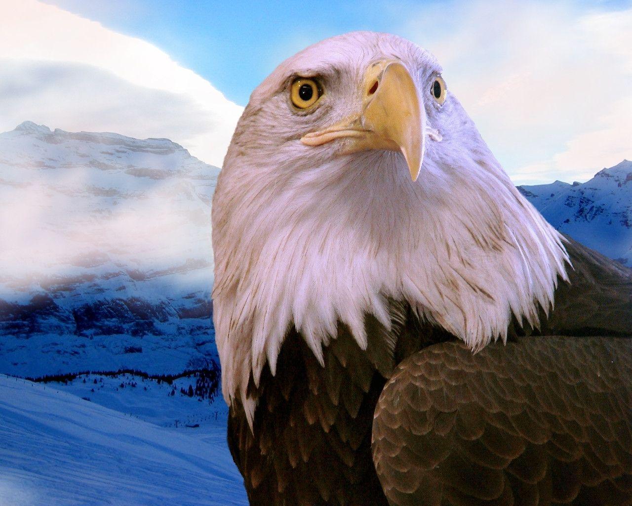 related bald eagle background - photo #17