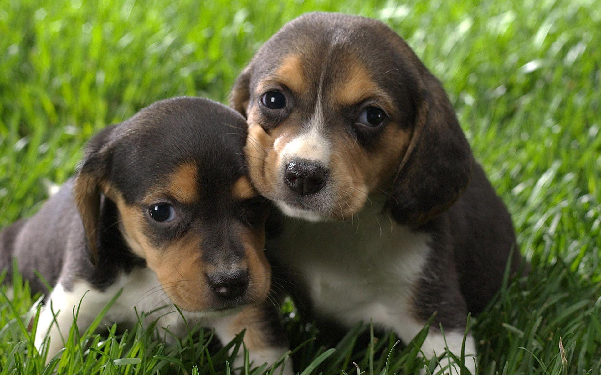 Beagle As Service Dog