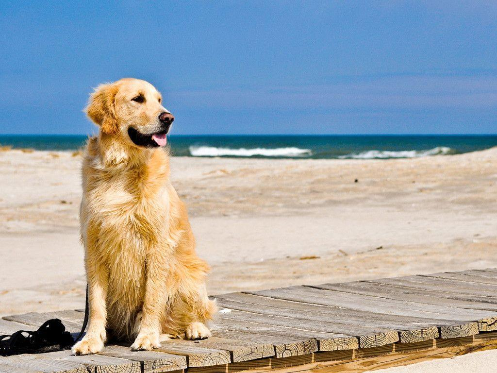 Golden Retriever Wallpapers Wallpaper Cave
