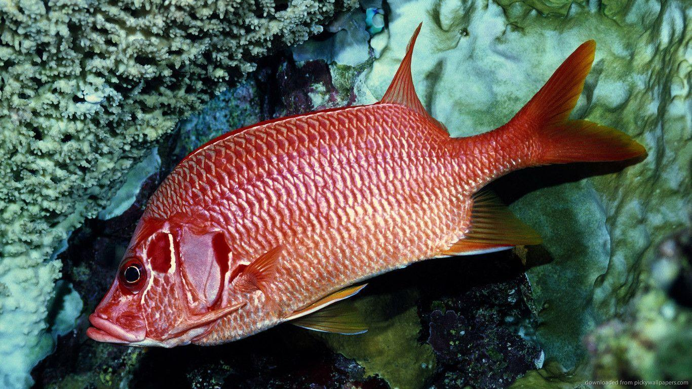 Download 1366x768 Red Fish Wallpapers
