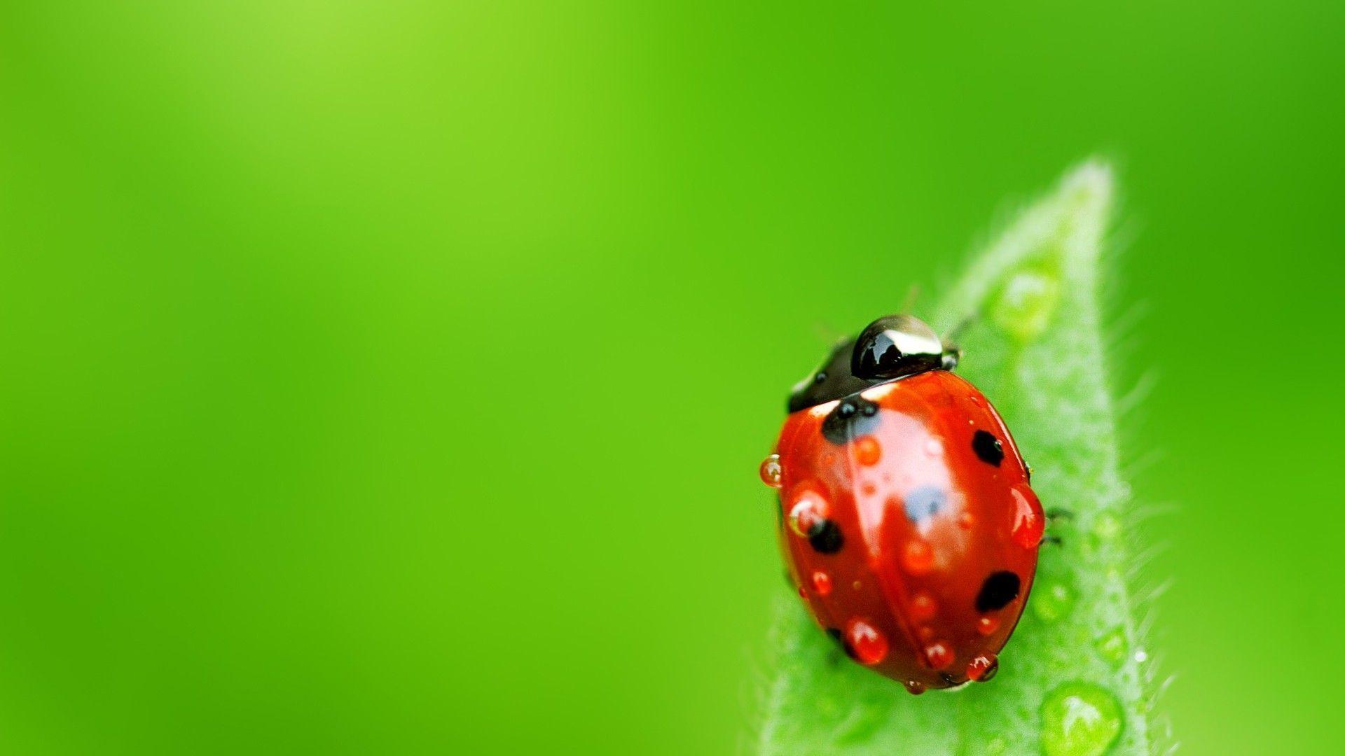 <b>Ladybug</b> On Leaf #7009120