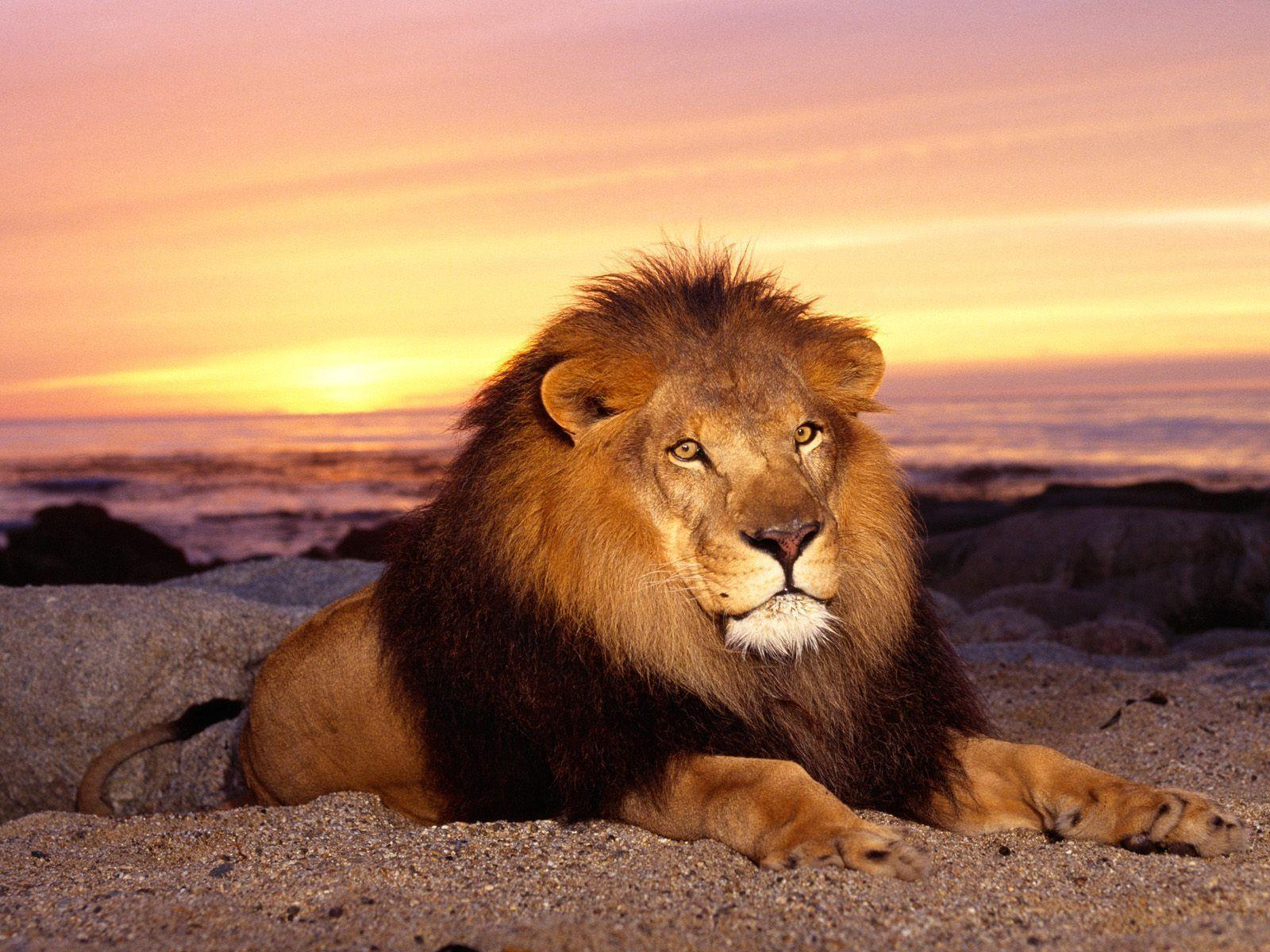 Lion Animal Wallpaper Desktop Pictures 2469 Full HD Wallpaper ...