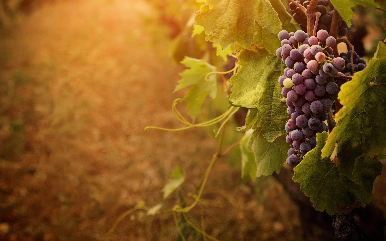 images of grape vines - photo #41