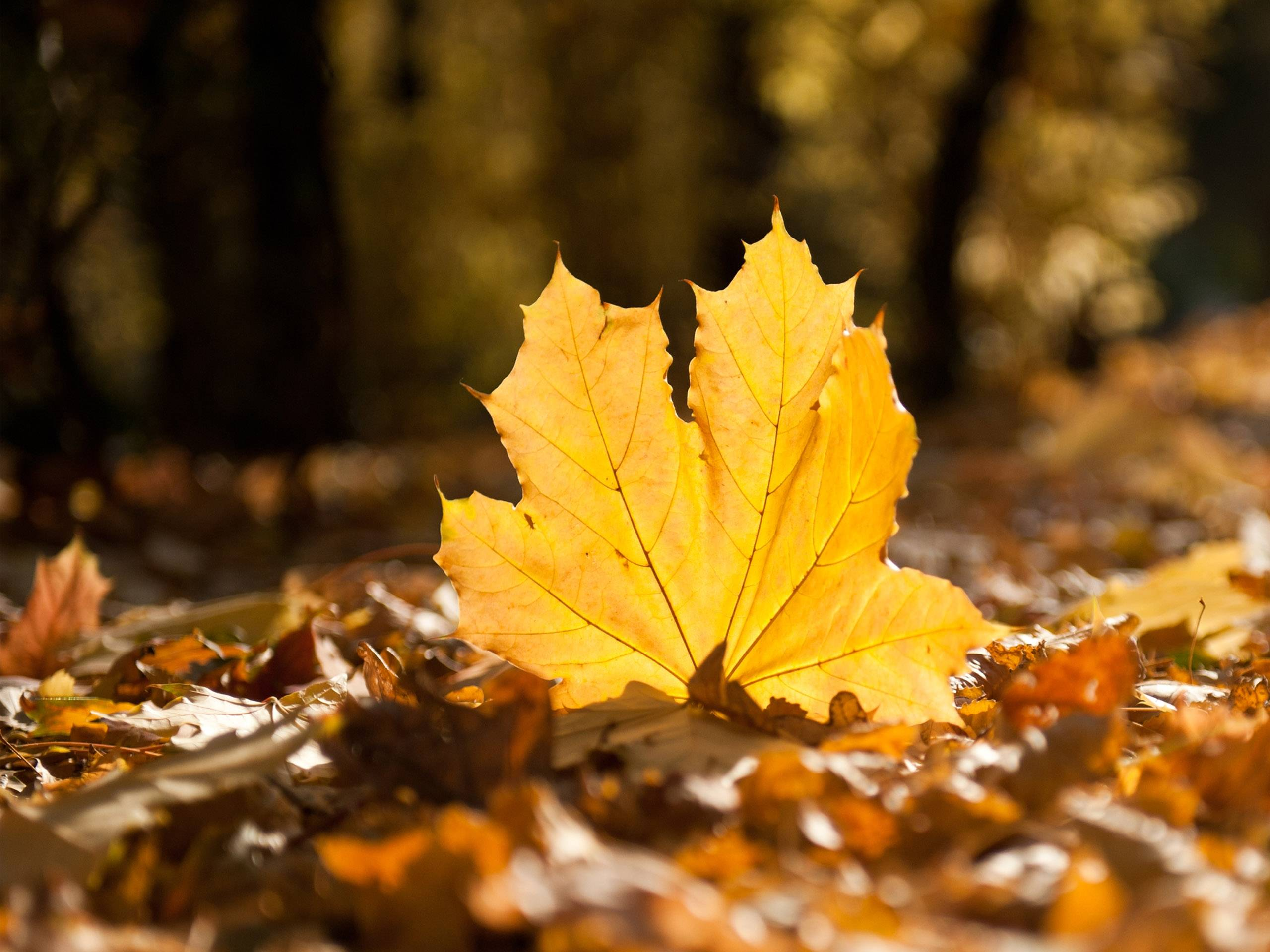 Fall Leaf HD Wallpapers - HD Wallpapers Inn