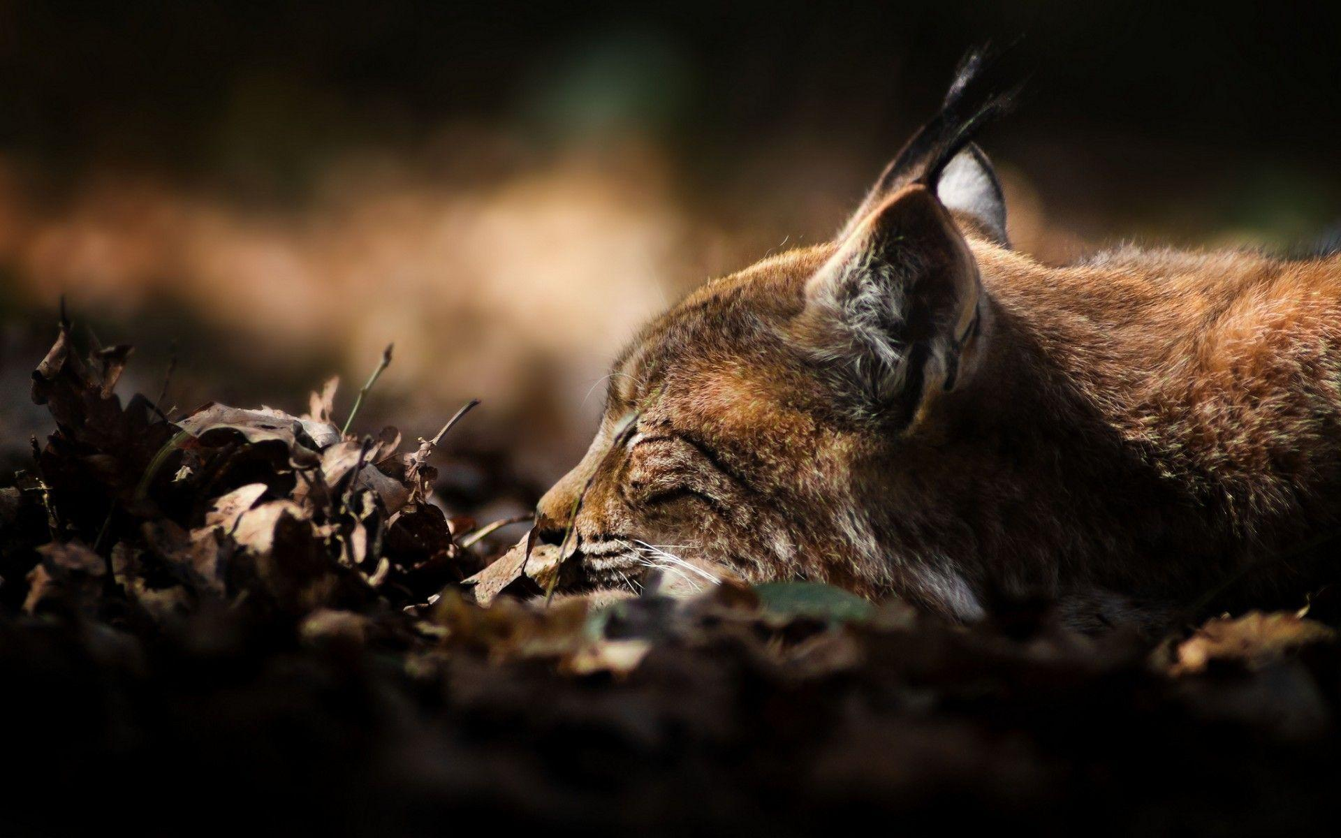 Wild Cat Wallpapers - Wallpaper Cave