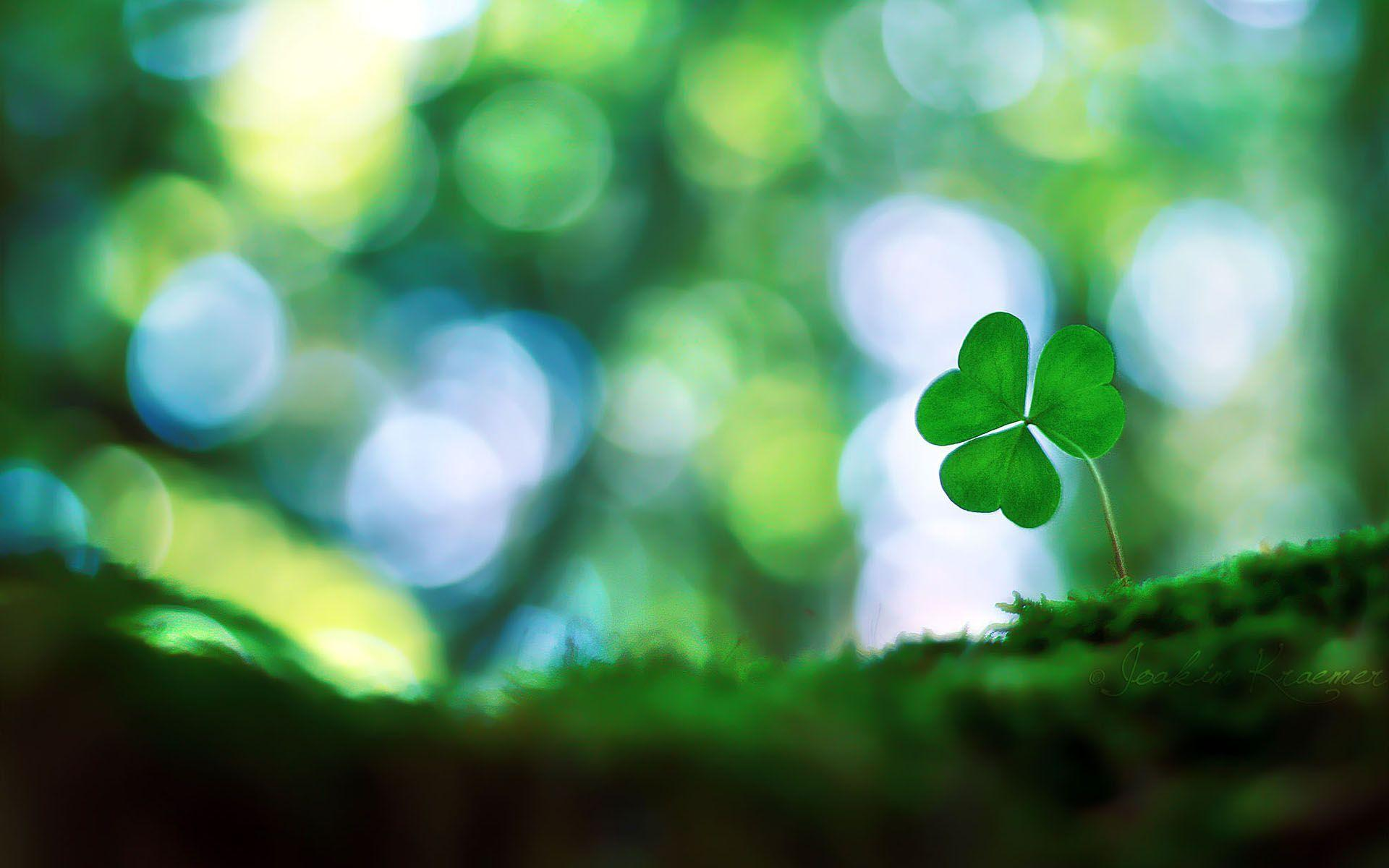 Four Leaf Clover Backgrounds Image & Pictures